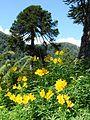 Araucaria araucana y Alstroemeria aurea PN Villarrica por Pato Novoa - 005.jpg