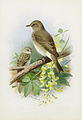 Archibald Thorburn Spotted Flycatchers.jpg