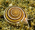Architectonica perspectiva live snail.jpg