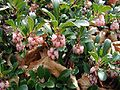 Arctostaphylos-uva-ursi.jpg