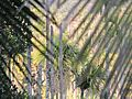 Arecanut palms.jpg