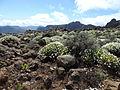 Argyranthemum adauctum kz1.JPG