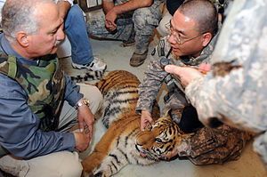 Lawrence Anthony - A tiger cub at the Baghdad Zoo, which Anthony helped rescue, being given a medical check-up by US Army Doctors