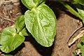 Arnica latifolia 1160.JPG
