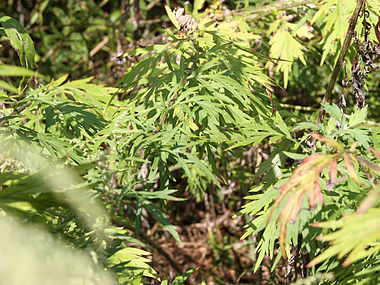 Artemisia vulgaris SCA-6366.jpg