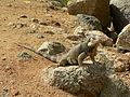 Aruba Iguana (4901988676).jpg