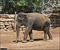 Asian-Elephant-Jerusalem-Jerusalem-Biblical-Zoo-IZE-312.jpg