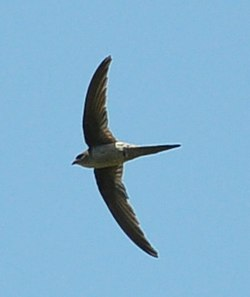 Asian Palm Swift (Cypsiurus balasiensis) Pondicherry India Apr 2011.jpg
