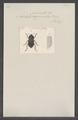 Asida - Print - Iconographia Zoologica - Special Collections University of Amsterdam - UBAINV0274 027 21 0002.tif