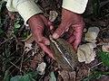 Aspidosperma spruceanum, gararoba - Flickr - Tarciso Leão (3).jpg