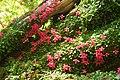 Asteranthera ovata (3184574901).jpg