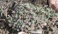 Astragalus anserinus.jpg