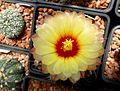 Astrophytum flower 230.jpg