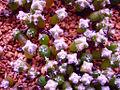 Astrophytum seedling.jpg