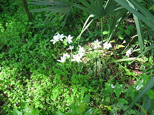 Zephyranthes atamasca - Atamasco or rain lilies blooming near the entrance to the caves at Florida Caverns State Park