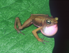 Atelopus franciscus with internal vocal sac - journal.pone.0022080.g001A.png