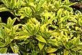 Aucuba japonica 1zz.jpg