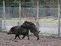 Aufdringliches Wildschwein März 2012.JPG