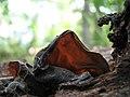 Auricularia auricula-judae 111.jpg