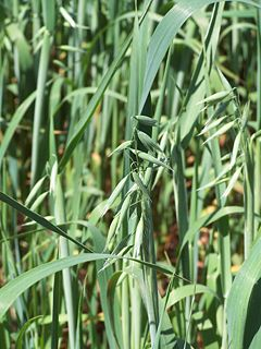 Oat Species of plant