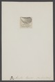 Avicula - Print - Iconographia Zoologica - Special Collections University of Amsterdam - UBAINV0274 005 05 0002.tif