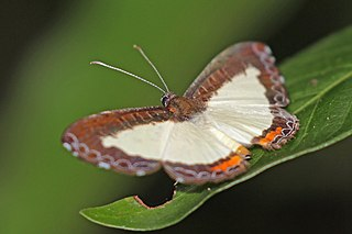 <i>Nymphidium</i> genus of insects