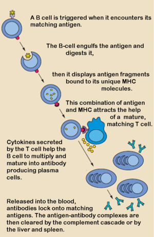 Recognition of antigen by b cells edit