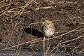 Baird's Sparrow Curly Horse Rd Sonoita AZ 2018-02-08 09-27-56 (39445227574).jpg