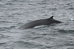 Fin whale - A fin whale in the Gulf of St. Lawrence, showing characteristic backswept dorsal fin