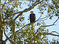 Bald Eagle In The Tree.JPG