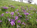 Baldtop iris and buttercup cover a prairie hillside.jpg