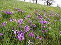 Baldtop iris and buttercup cover a prairie hillside.jpg