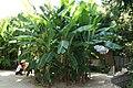 Bambouseraie de Prafrance, Gard, France. Bananier.jpg