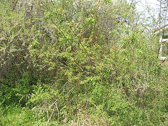 Salix udensis - Salix udensis 'Sekka'