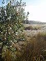 Banksia integrifolia L.f. (AM AK291450-3).jpg