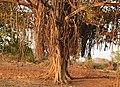 Banyan Tree Ficus benghalensis by Dr. Raju Kasambe DSCN9597 (9).jpg