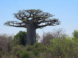 Baobab 04.jpg