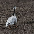 Bar headed goose.jpg