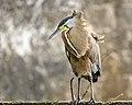 Bare-throated Tiger-Heron (32712098168).jpg