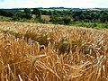 Barley, near Slack's Barn, Coberley - geograph.org.uk - 519634.jpg