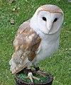 Barn Owl (2695346543).jpg