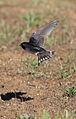 Barn swallow, Hirundo rustica, at Suikerbosrand Nature Reserve, Gauteng, South Africa (23374928405).jpg