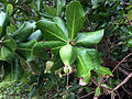 Barringtonia asiatica unripe fruit Beqa FIji.jpg