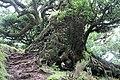 Baumveteran im Laurisilva von Madeira zwischen Paul da Serra und Fanal VI.jpg
