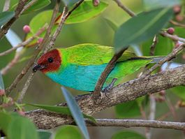 Bay-headed Tanager.jpg