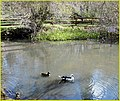 Be Nice to the Ducks, Pond, Seven Oaks 4-5-14 (13738683415).jpg