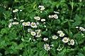 Beautiful flowers growing wild (20564378518).jpg