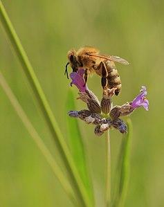 Медоносная пчела (Ápis melliféra) на цветке лаванды
