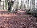 Beeches in Upper Wepham Wood - geograph.org.uk - 1125501.jpg