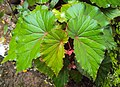Begonia Malabarica 01.JPG